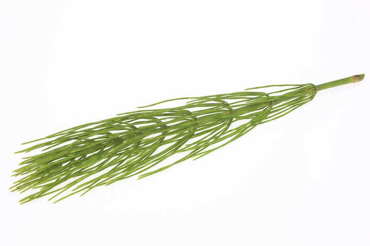Medicinal plant, Equisetum arvense, field horsetail or common horsetail Equisetum Arvense Medicinal Plants Beauty In Nature Close-up Common Horsetail Copy Space Cut Out Field Horsetail Food Food And Drink Freshness Green Color Healthy Eating Herb Indoors  Leaf Medicinal Plant Nature No People Plant Plant Part Still Life Studio Shot Vegetable Wellbeing White Background