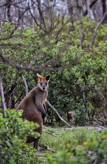 Wallaby Wallabies Wallabys Melbourne Wildlife Wildlife & Nature Wild Animals Wild Animal Freedom Free Marsupial Marsupials Kangaroos Kangaroo Hiding In The Bushes Bush Life Caught Off Guard Caught The Moment Outback Outback Australia Australia Flora And Fauna