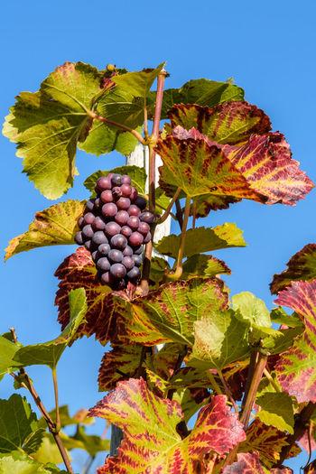 Herbsttraube im Ahrtal Ahrtal Autumn Autumn Colors Berry Fruit Day Fruit Herbst Nature Outdoors Ripe Rot Rotwein Trauben Vine