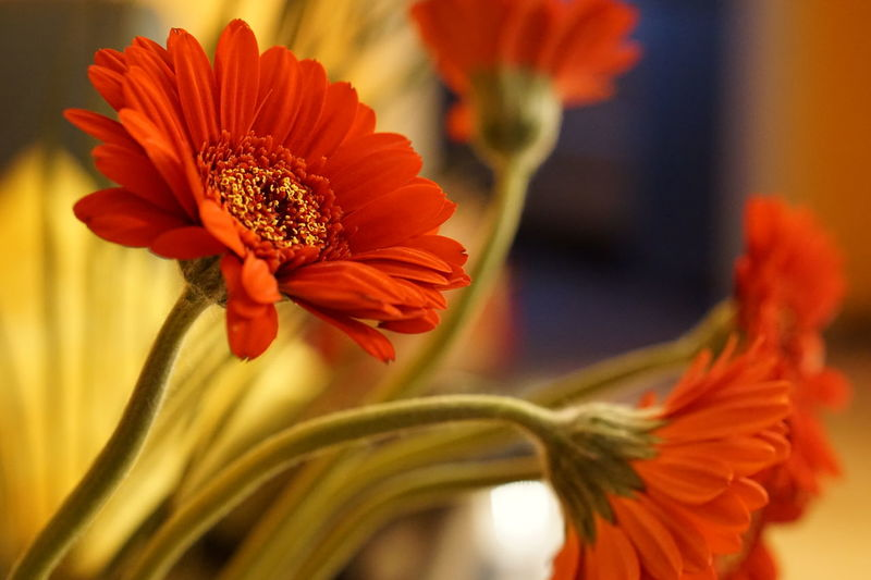 Beauty In Nature Blooming Close-up Day Flower Flower Head Fragility Freshness Gerbera Daisy Growth Nature No People Orange Color Outdoors Petal Plant Pollen Red