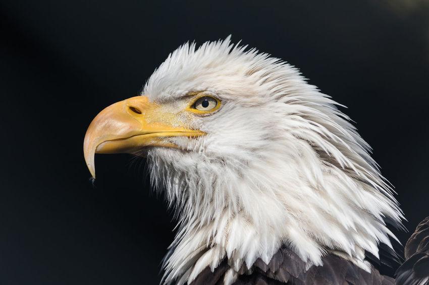 close up portrait of bald eagle Eagle Bald Eagle Bird Bird Of Prey Raptor Portrait Animal Nature HEAD Animal Eye Eye Yellow Eyes Animal Head  Eye Color