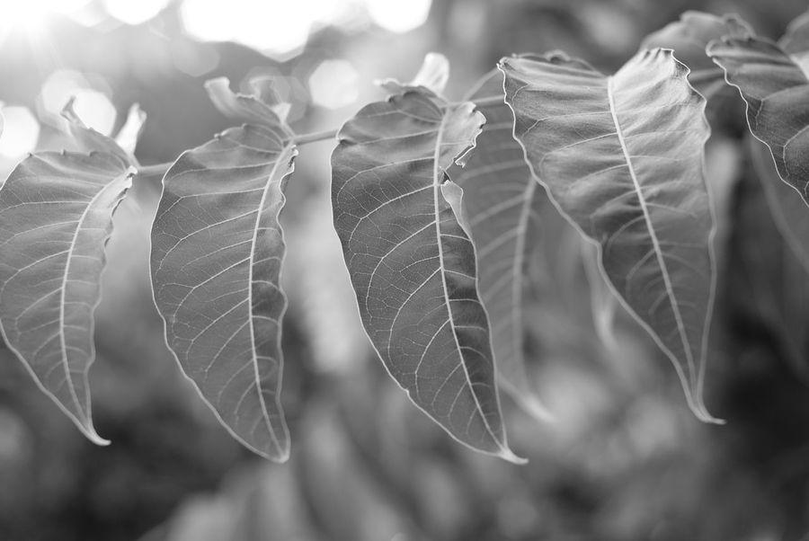 Beauty In Nature Bokeh Photography Foliage Fragility Leaf Leaf Vein Leaf 🍂 Leafage Leafporn Leafs Photography Leafs 🍃 Leaves Nature Outdoors