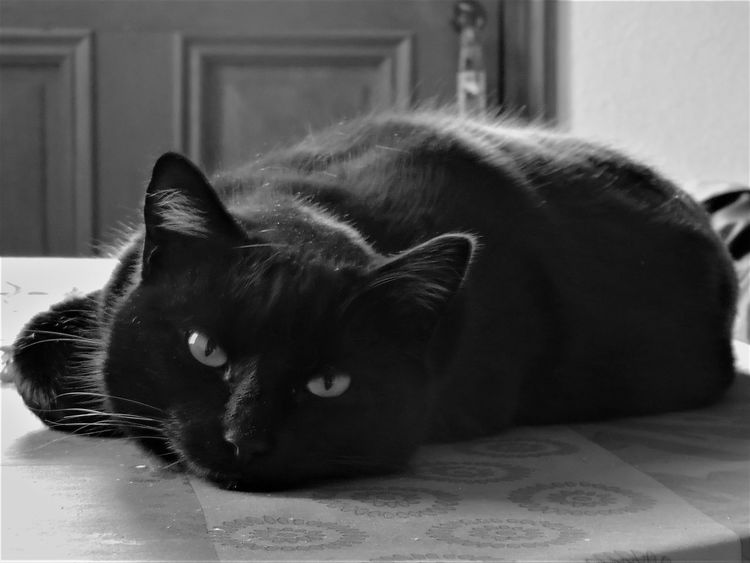 Animal Themes Black Cat Cat Chat Close-up Day Domestic Animals Domestic Cat Feline France Home Interior Indoors  Lying Down Mammal No People One Animal Pets Relaxation Whisker