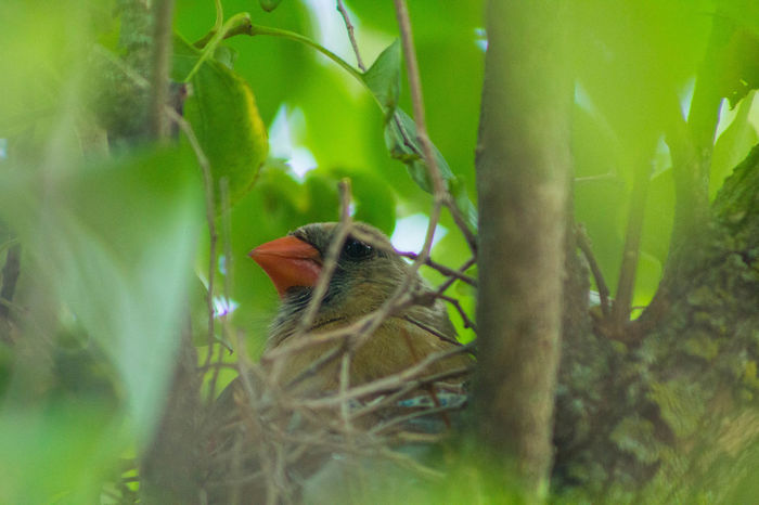 I spy mama cardinal on her nest. Beauty In Nature Bird Photography Birds Cardinal Nature Nesting Orange Color Selective Focus Twig