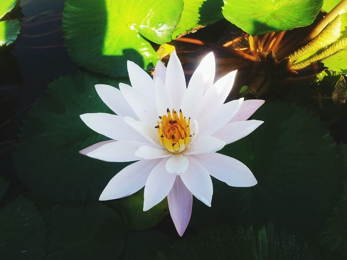 High Angle View Of White Water Lily Blooming In Pond
