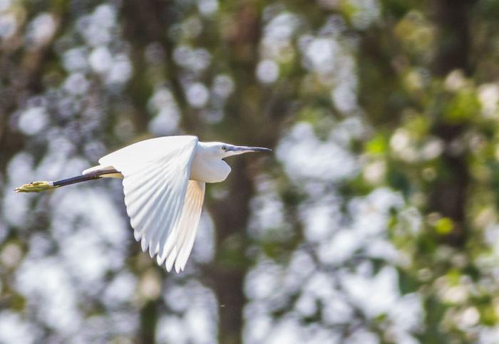 Animals In The Wild Bird Flying Garzetta Nature One Animal White Wildlife
