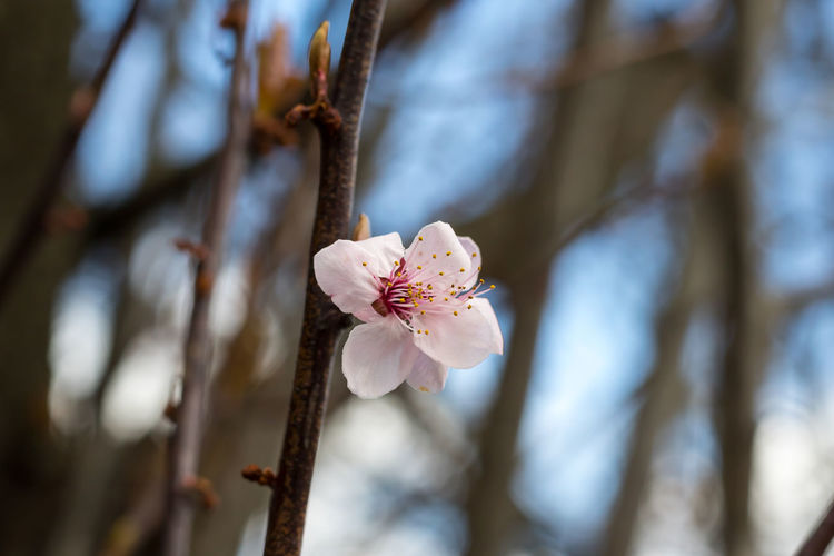 Here is some beauty from my hometown norristown, pa Beauty In Nature Blossom Botany Branch Branches And Sky Cherry Blossoms Close-up Day Dof Dof Nature Flower Flower Head Fragility Freshness Growth Howard Roberts Nature No People Outdoors Petal Plant Plum Blossom Rhododendron Tree Twig