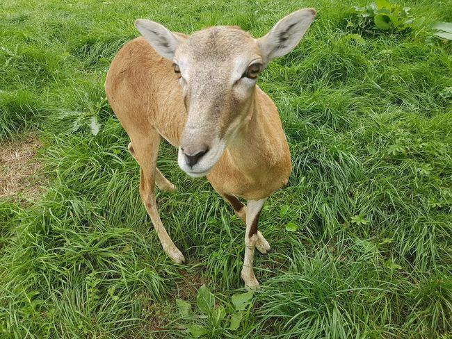 Animal Themes Field Grass One Animal Green Color Mammal No People Day Nature Domestic Animals Outdoors Animals In The Wild Pet Portraits