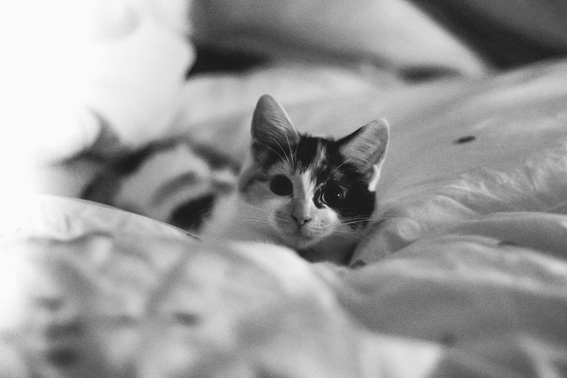 Kitten Young Animal Monochrome Play Scotland Feline Cat Lovers Cats Of EyeEm Pets Corner Pets Domestic Domestic Animals One Animal Cat Domestic Cat Animal Themes Feline Animal Bed Portrait Indoors  No People Close-up Relaxation Mammal Lying Down