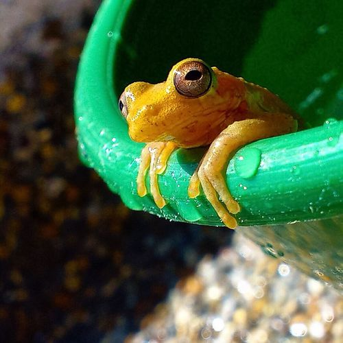 One Animal Animal Themes Animals In The Wild Wildlife Close-up Underwater Water Selective Focus Swimming Focus On Foreground Nature Animal Head  Green UnderSea Green Color No People Beauty In Nature Vibrant Color Multi Colored Frog Yellow Colombia Adapted To The City