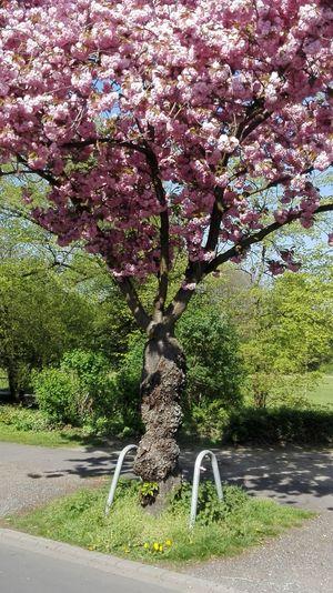 Cherry.... tree... lyrics.. to see Tree Beauty In Nature Saxofone🎷