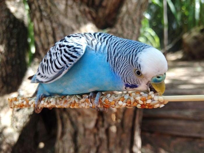 Bird Close-up Australian Parakeet Blue Parakeet Pet Portraits
