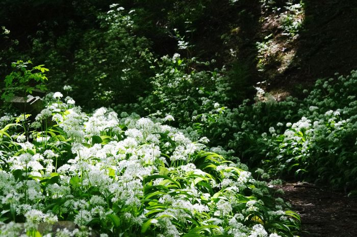 Yeah Springtime! Nature On Your Doorstep Walking Around The Cemetery Bristol Uk Ramsons Nature Relaxing Taking Photos