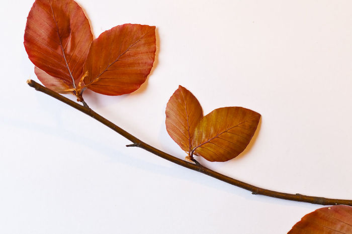 Red beech branch with leaves - still life Autumn Beauty In Nature Botany Brown Change Close-up Dry Focus On Foreground Fragility Growth Leaf Leaf Vein Leaves Natural Pattern Nature No People Orange Color Outdoors Season  Stem Studio Shot Tranquility Twig White Background