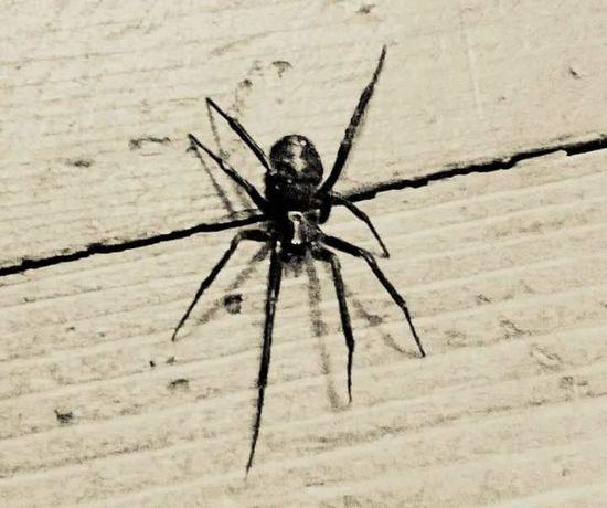 Spider Stylized Monochrome Nature