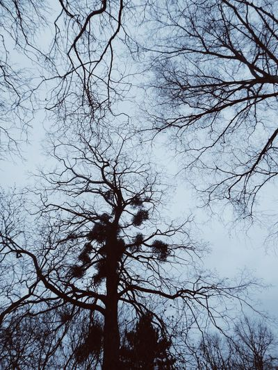looking up😍 Beauty Of Bare Trees🤗 Misteln Fragility Of Life Silhouettes Filigran Beauty For My Friends😚 Naturelove Lucky Me🦄 Beautiful Silhouette My Favorite View🤗 Low Angle View Tree Nature Backgrounds Branch No People Sky