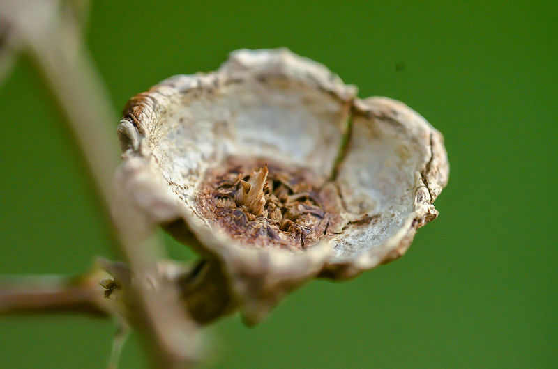 Close-up of dried plant pod