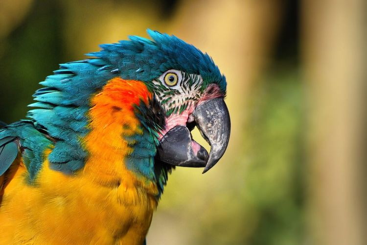 Close-up of gold and blue macaw at parco gallorose