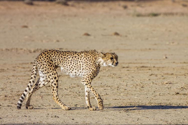 View of cat running