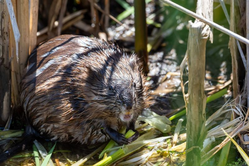 Muskrat Awesome