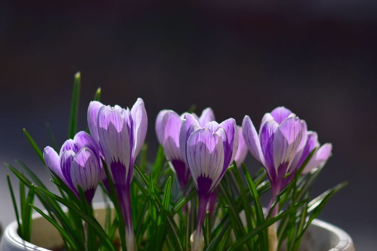 Flowering Plant Flower Plant Freshness Beauty In Nature Vulnerability  Fragility Petal Purple Close-up Growth Nature Flower Head Inflorescence No People Pink Color Focus On Foreground Leaf Plant Stem Plant Part Iris Crocus