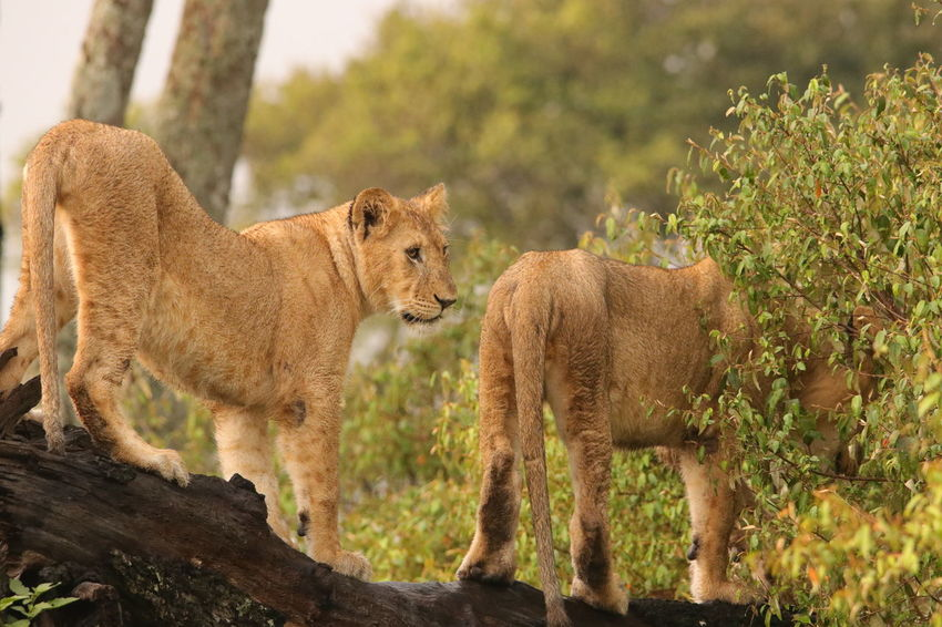 Lions on log Animal Themes Animals In The Wild Day Lion Cub Mammal Nature No People Outdoors Tree Young Animal