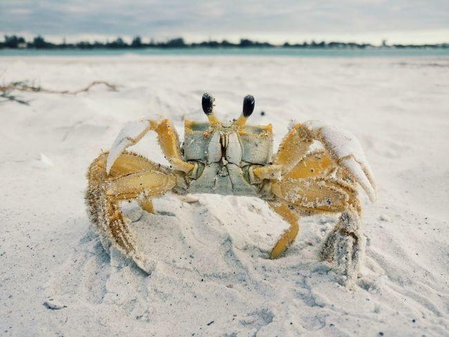 Hello Mr Crab 🦀 Florida Florida Life Florida Nature Sarasota Florida Siesta Key Beach Beachphotography Beach Life Beach View Moodnation Gameoftones Crab