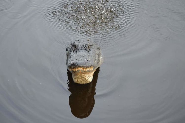 Gator crawl. Alligator Florida Life Shot Of A Life Swamp Walk Love My Nature Walks