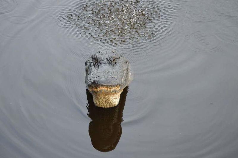 Gator crawl. Alligator Florida Life Shot Of A Life Swamp Walk Love My Nature Walks