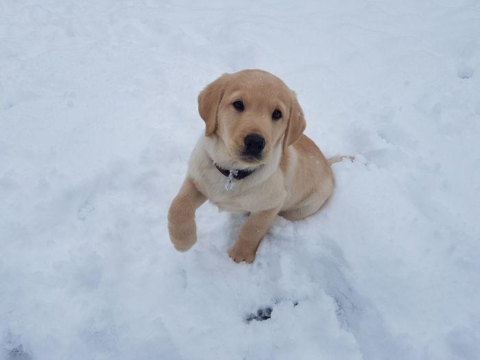 EyeEm Selects Pets Winter Dog Cold Temperature Puppy Retriever Golden Retriever Beagle