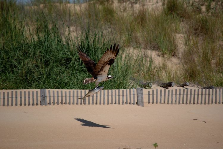 Osprey Holding Fish While Flying Over Ground In Sunny Day