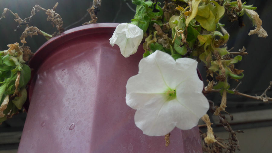 Beauty In Nature Close-up Day Flower Flower Head Food Fragility Freshness Growth Leaf Nature No People Outdoors Plant White Color