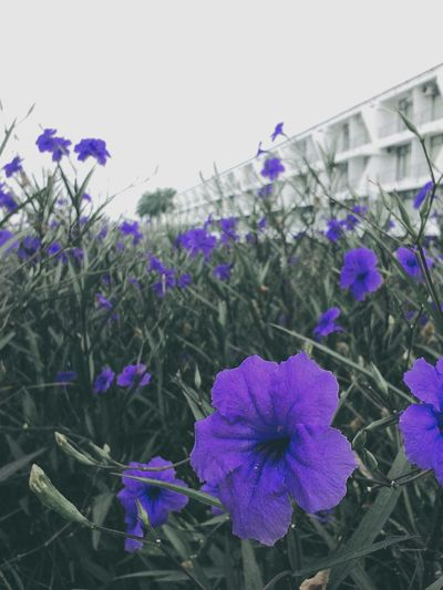 EyeEm Flower Flowerlover Tbt ❤ Flower Ourhanoi Purpleflower Purple Mobilephotography