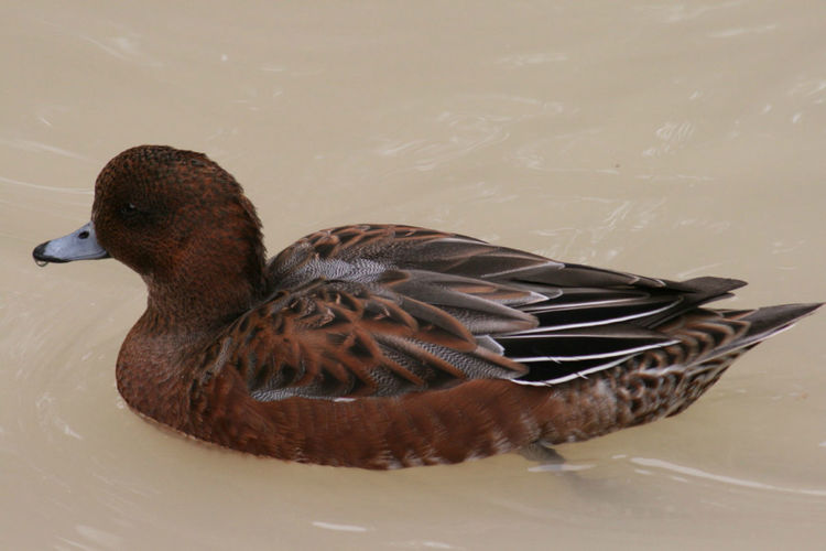 Beauty In Nature Close-up Cool Kids Duck Feather  Feathers Mallard Duck Nature No People Water