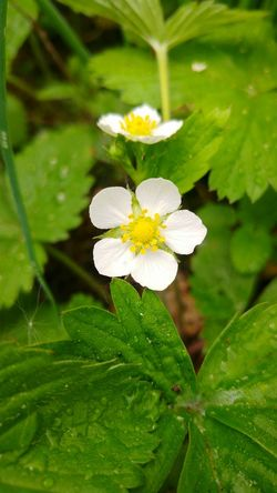 Erdbeeren Erdbeere Erdbeerblüte Erdbeerpflanze Strawberry Strawberries Strawberrys Strawberry Plant Strawberry Flower White Flower White Flowers Berries Beeren