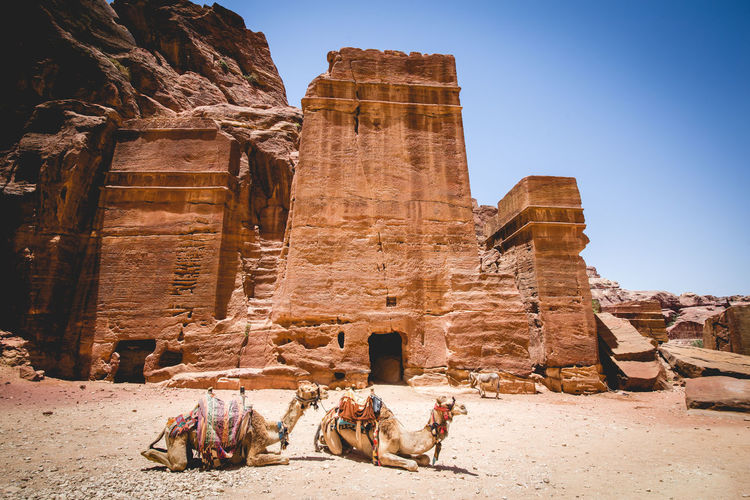 Camels resting against old ruins at desert