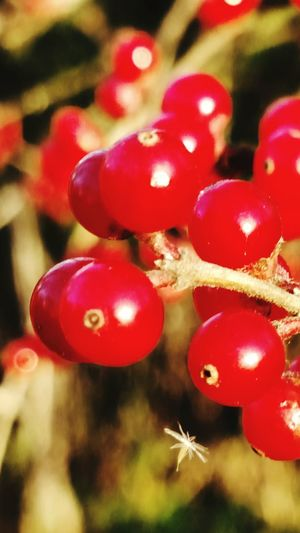 Maximum Closeness Growth Close-up Red Fruit Outdoors Colorful Scenics Beauty In Nature Nature Forest Tree Growth Insects Beautiful Nature