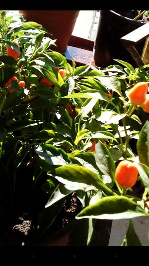 Healthy Eating Growth Freshness Food Green Color Plant Nature Food And Drink Hot Peppers Hot Peppers Plants Nature Urban Gardening My Hobby Planting.