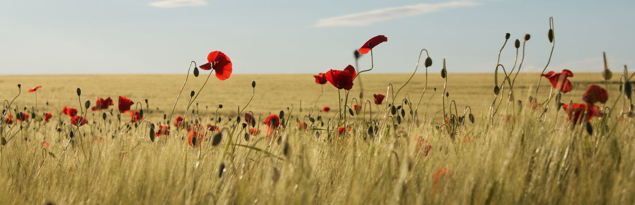 Poppies in a field of barley Agriculture Beauty In Nature Cereal Plant Close-up Crop  Day Field Flower Fragility Freshness Growth Nature No People Outdoors Plant Poppy Red Rural Scene Sky Tranquility Wheat