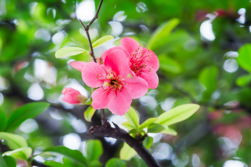 Malus spectabilis in spring Malus Spectabilis Animal Themes Beauty In Nature Blooming Close-up Day Flower Flower Head Fragility Freshness Growth Hibiscus Nature No People One Animal Outdoors Periwinkle Petal Pink Color Plant