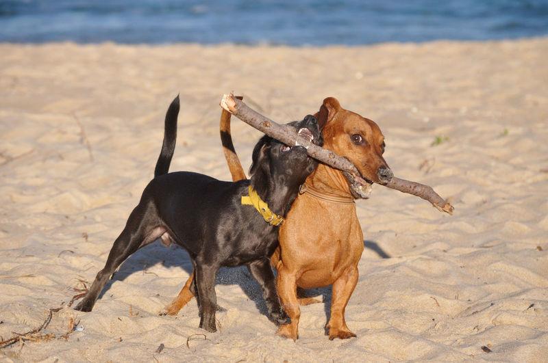 My babies! 💓💓 Cute EyeEm Best Shots Dogs Of EyeEm Dog Love Dogs Animal Themes Animal Photography Pets Full Length Beach Dog Sand Sea Playing Stick - Plant Part Animal Themes Dachshund Puppy Inner Power