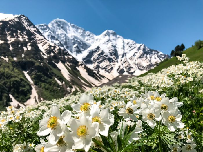 White flowering plants and mountains against sky