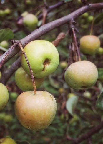Crab Apple Tree Apples Autumn