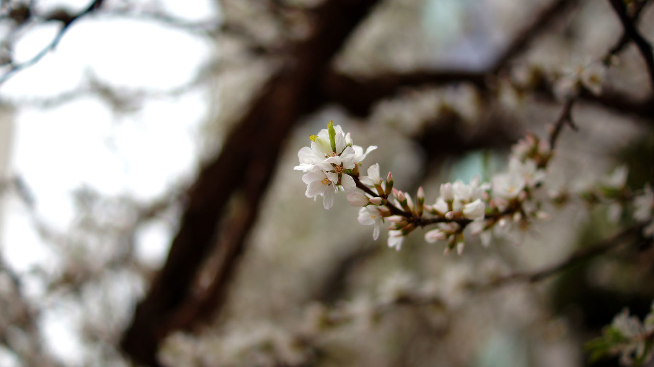 flower, white color, fragility, tree, blossom, growth, apple blossom, nature, apple tree, springtime, branch, beauty in nature, freshness, orchard, day, close-up, no people, petal, flower head, outdoors