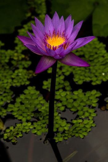 BGBM Botanical Gardens Nymphaea Beauty In Nature Blüte Close-up Floating On Water Flower Flower Head Flowerhead Flowering Plant Fragility Freshness Growth Inflorescence Nature Plant Purple Seerose Vulnerability  Water Water Lily Waterflower