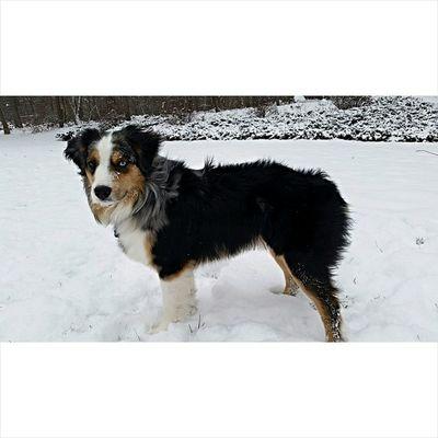 I am pretty positive, I have a very pretty dog 😊🐶❄❄ Pupsofinstagram Australianshepard Bluemerle Snowday Aussienation