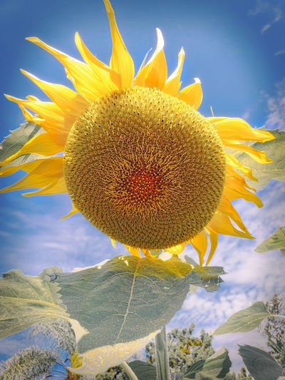 Back and re-energized! Beauty In Nature Close-up Flower Flower Head Flowering Plant No People Outdoors Sunflower Yellow