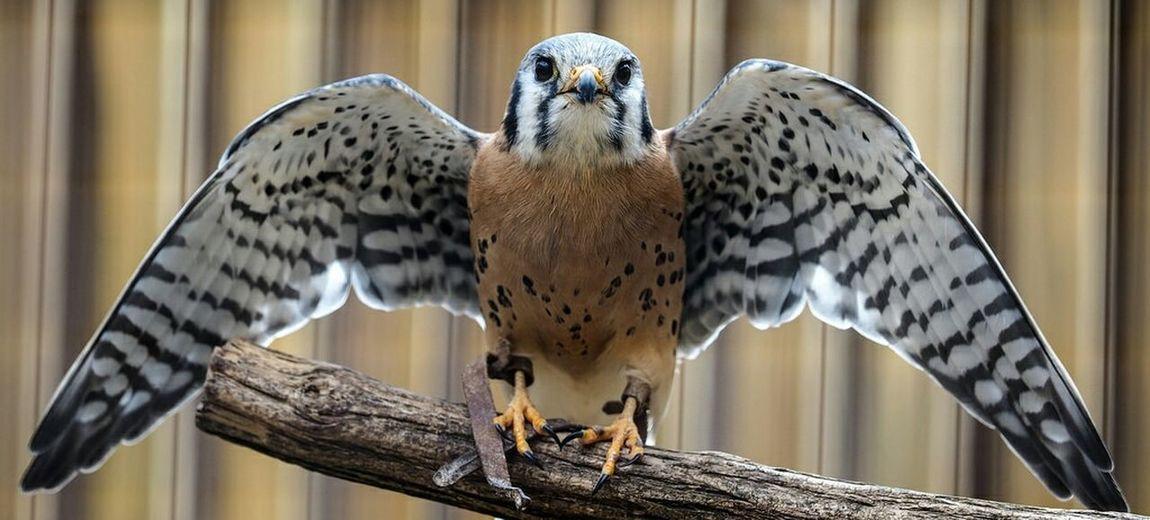 Raptor Falcon Olympus OM-D EM-1 40-150 Bird Glenhelen