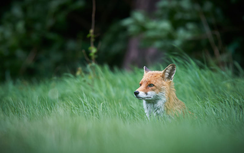 Side view of fox sitting on grassy field