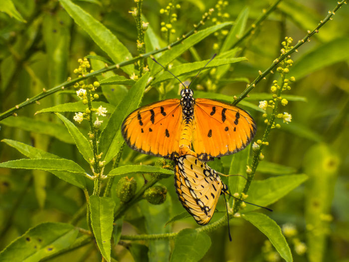 Beautiful Butterfly BUTTERFLY METTING Colorful Greenery India Indian Insects  Love Making Nature